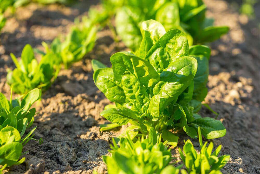 Spinazie, groenteteelt, agrariers