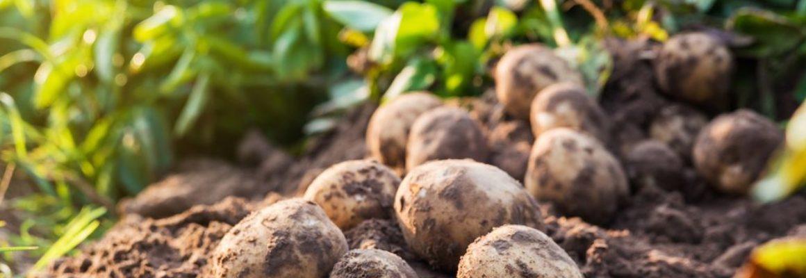 Coronavirus en tegemoetkoming aardappeltelers